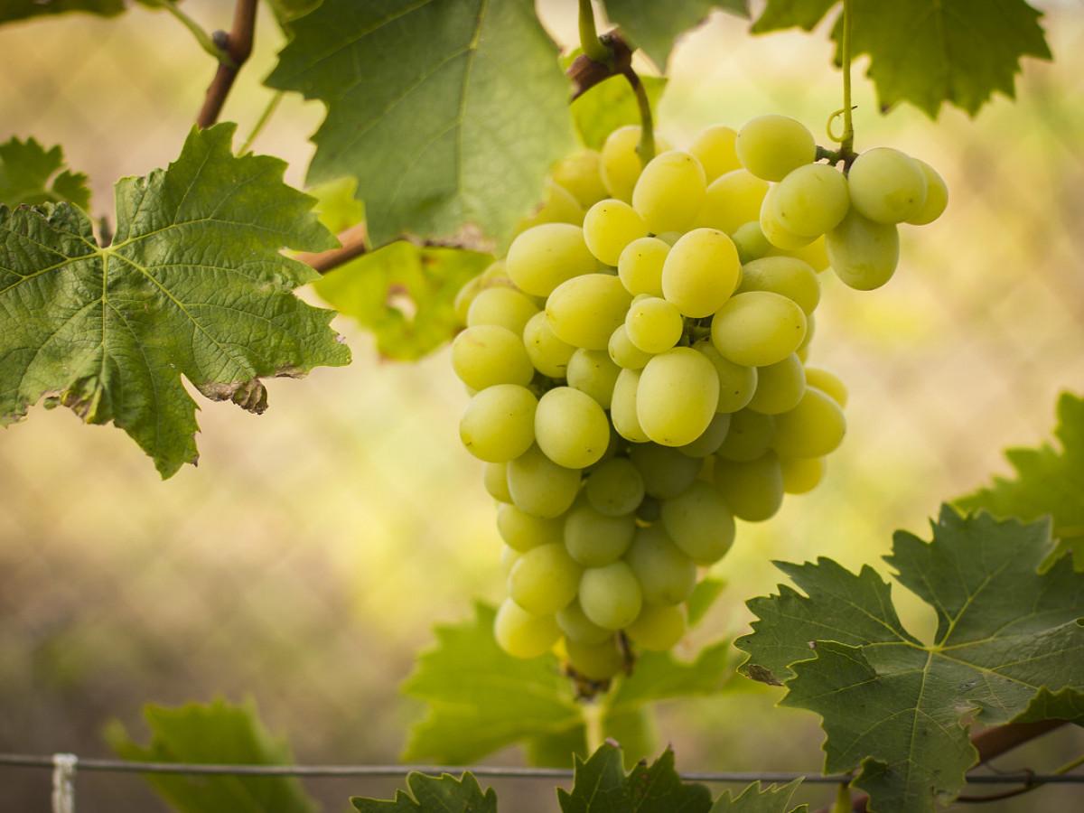 Рецепт браги из ягод винограда