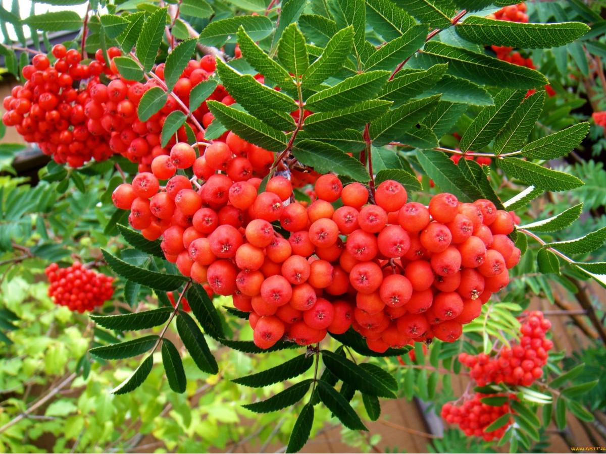 Рецепт браги из ягод рябины
